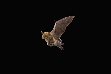 Northern Long-eared Bat (Myotis septentrionalis) pregnant female flying, Cherokee National Forest, Tennessee  -  Michael Durham