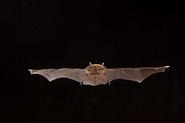 Northern Long-eared Bat (Myotis septentrionalis) female from behind, flying, Cherokee National Forest, Tennessee  -  Michael Durham