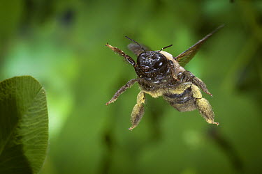 Carpenter Bee (Xylocopa virginica) flying covered in pollen, Cherokee National Forest, Tennessee  -  Michael Durham