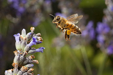 Honey Bee (Apis mellifera) approaching English Lavender (Lavandula angustifolia) flowers visible pollen basket, western Oregon  -  Michael Durham