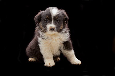 Domestic Dog (Canis familiaris) nine week old mixed breed sheepdog puppy, western Oregon  -  Michael Durham