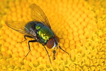 Blue Bottle Fly (Calliphoridae) feeding on flower nectar, western Oregon  -  Michael Durham