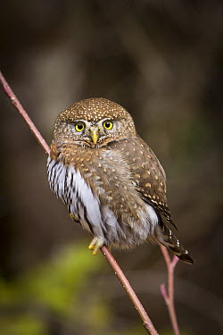 Northern Pygmy Owl (Glaucidium californicum), Clackamas River, Mount Hood National Forest, Oregon, sequence 1 of 2  -  Michael Durham