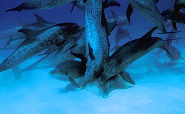 Atlantic Spotted Dolphin (Stenella frontalis) group of males, Bahamas  -  Hiroya Minakuchi