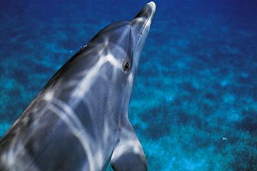Atlantic Spotted Dolphin (Stenella frontalis), Bahamas  -  Hiroya Minakuchi