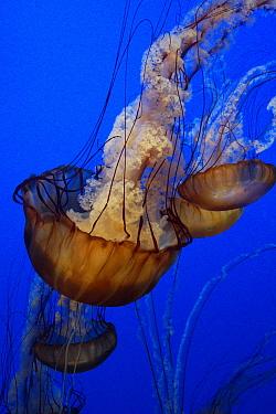 Pacific Sea Nettle (Chrysaora fuscescens) group in an aquarium  -  Hiroya Minakuchi
