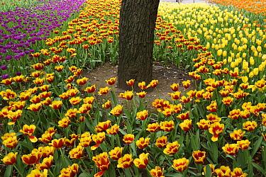 Tulip (Tulipa sp) flower garden, Japan  -  Hiroya Minakuchi