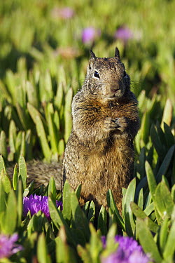 California Ground Squirrel (Spermophilus beecheyi) in ice plants, Monterey, California  -  Hiroya Minakuchi