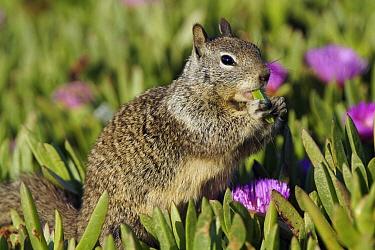 California Ground Squirrel (Spermophilus beecheyi) feeding on ice plant, Monterey, California  -  Hiroya Minakuchi