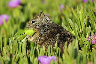 California Ground Squirrel (Spermophilus beecheyi) feeding on Ice Plant (Carpobrotus edulis), Monterey, California  -  Hiroya Minakuchi