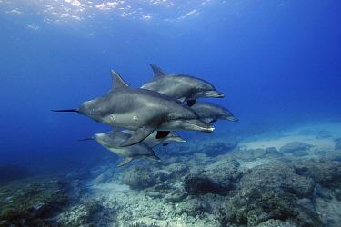 Indo-pacific Bottlenose Dolphin (Tursiops aduncus) group, Ogasawara Island, Japan  -  Hiroya Minakuchi