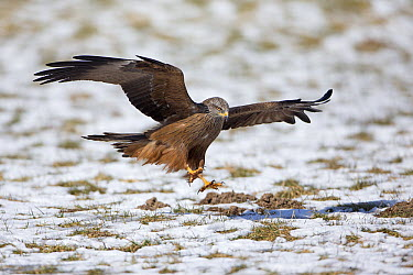 Black Kite (Milvus migrans) landing on snow-covered field, Germany  -  Duncan Usher