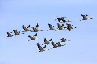 Common Crane (Grus grus) flock migrating north in spring, Germany  -  Duncan Usher