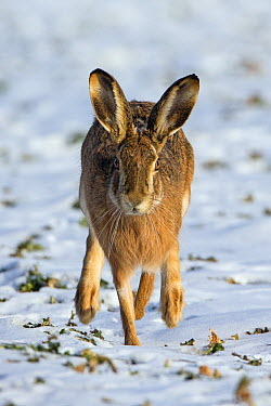 European Hare (Lepus europaeus) running across snow-covered field, Germany  -  Duncan Usher