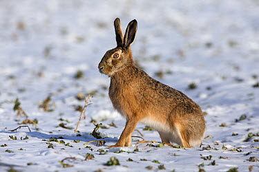 European Hare (Lepus europaeus) on snow-covered field, Germany  -  Duncan Usher