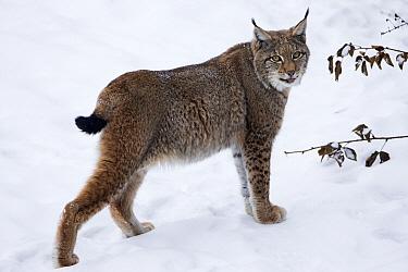 Eurasian Lynx (Lynx lynx) standing in snow, Germany  -  Duncan Usher