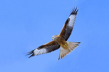Red Kite (Milvus milvus) flying, Germany  -  Duncan Usher