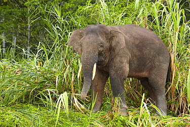 Borneo Pygmy Elephant (Elephas maximus borneensis) eating bamboo, Kinabatangan River, Sabah, Borneo, Malaysia  -  Martin Willis