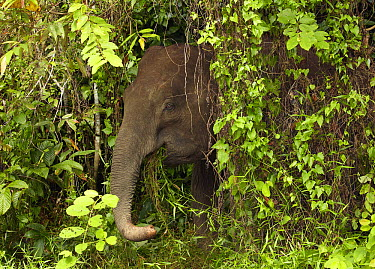 Borneo Pygmy Elephant (Elephas maximus borneensis) eating grass at jungle edge, Kinabatangan River, Sabah, Borneo, Malaysia  -  Martin Willis