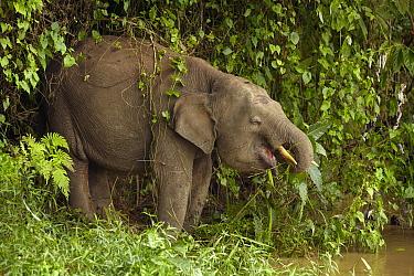 Borneo Pygmy Elephant (Elephas maximus borneensis) drinking from Kinabatangan River, Sabah, Borneo, Malaysia  -  Martin Willis
