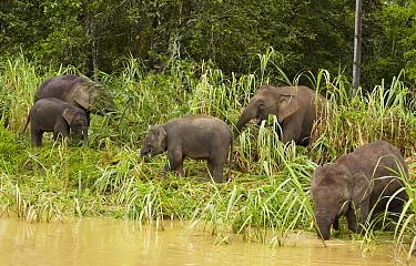 Borneo Pygmy Elephant (Elephas maximus borneensis) herd eating bamboo, Kinabatangan River, Sabah, Borneo, Malaysia  -  Martin Willis