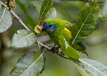 Double-eyed Fig-Parrot (Cyclopsitta diophthalma) male eating fruit of a Septic Fig (Ficus septica), Malanda, Queensland, Australia  -  Martin Willis