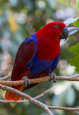 Eclectus Parrot (Eclectus roratus) female, Port Douglas, Queensland, Australia  -  Martin Willis