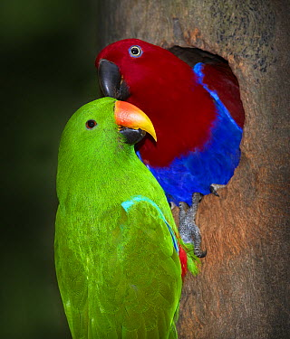 Eclectus Parrot (Eclectus roratus) male feeding female at nesting hollow, Port Douglas, Queensland, Australia  -  Martin Willis