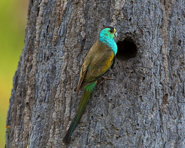 Golden-shouldered Parrot (Psephotus chrysopterygius) male at entrance to its nest in a conical termite mound, Artemis Station, Cape York Peninsula, Australia  -  Martin Willis