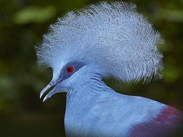 Western Crowned-Pigeon (Goura cristata), Jurong Bird Park, Singapore  -  Martin Willis