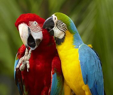 Blue and Yellow Macaw (Ara ararauna), and Red and Green Macaw (Ara chloropterus) preening, Jurong Bird Park, Singapore  -  Martin Willis