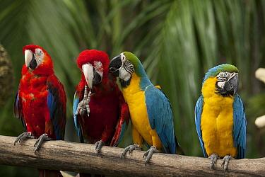Blue and Yellow Macaw (Ara ararauna), and Scarlet Macaw (Ara macao) preening, Jurong Bird Park, Singapore  -  Martin Willis