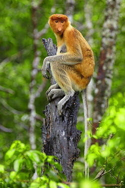 Proboscis Monkey (Nasalis larvatus) female sitting on a stump, Labuk Bay, Sabah, Borneo, Malaysia  -  Martin Willis