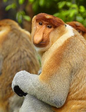 Proboscis Monkey (Nasalis larvatus) alpha male, Labuk Bay, Sabah, Borneo, Malaysia  -  Martin Willis