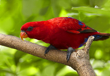 Red Lory (Eos bornea), Jurong Bird Park, Singapore  -  Martin Willis