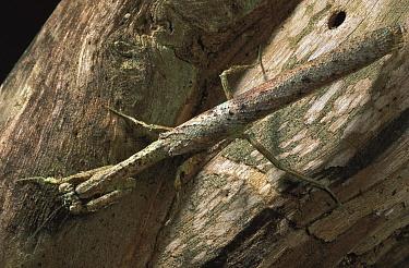 Mantis camouflaged as a stick, Gabon  -  Mark Moffett