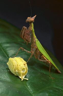 Female mantis guarding her egg case, Ivory Coast  -  Mark Moffett
