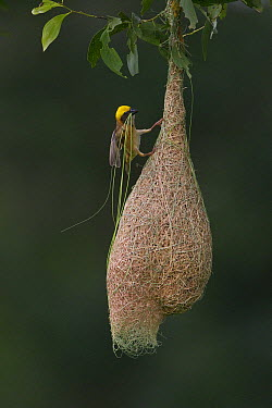 Baya Weaver (Ploceus philippinus) male with nest material  -  Ingo Arndt