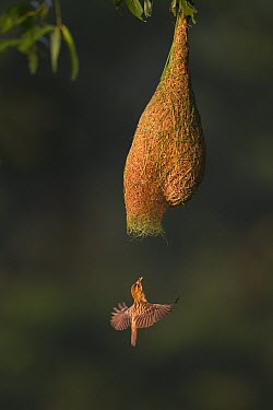 Baya Weaver (Ploceus philippinus) female entering nest to feed chicks, Singapore  -  Ingo Arndt