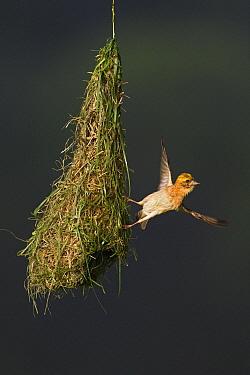 Baya Weaver (Ploceus philippinus) subadult bird leaving nest, Singapore  -  Ingo Arndt