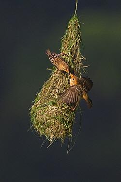 Baya Weaver (Ploceus philippinus) female feeding young on nest, Singapore  -  Ingo Arndt