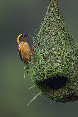 Baya Weaver (Ploceus philippinus) male building nest, Singapore  -  Ingo Arndt