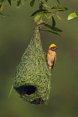 Baya Weaver (Ploceus philippinus) male on unfinished nest, Singapore  -  Ingo Arndt