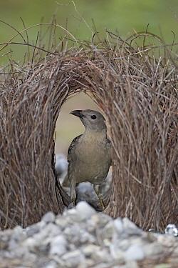 Great Bowerbird (Chlamydera nuchalis) male in bower, Litchfield National Park, Australia  -  Ingo Arndt