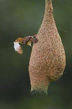 Baya Weaver (Ploceus philippinus) female with nesting material  -  Ingo Arndt