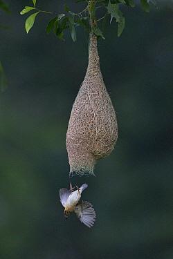 Baya Weaver (Ploceus philippinus) male leaving nest, Singapore  -  Ingo Arndt