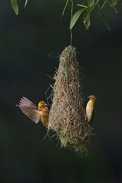Baya Weaver (Ploceus philippinus) subadult birds exercising at nest, Singapore  -  Ingo Arndt