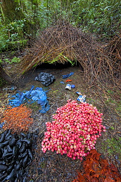 Brown Gardener (Amblyornis inornatus) bower decorated with various types of trash, red berries, and black and brown fungi, Arfak Mountains, Papua New Guinea, Indonesia  -  Ingo Arndt