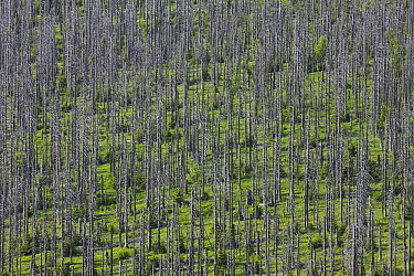 Norway Spruce (Picea abies) trunks of dead forest  -  Ingo Arndt