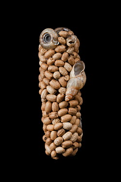 Caddisfly case built of seeds and snail shells, Germany  -  Ingo Arndt